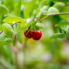 Cherry by Vaibhav Jain - Food & Drink Fruits & Vegetables ( plant, chery, red, tree, food, friut, leaves )