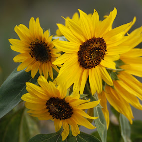 Sunflowers by Josefina Macchia - Nature Up Close Flowers - 2011-2013 ( girasoles, sunflowers, yellow, flowers )