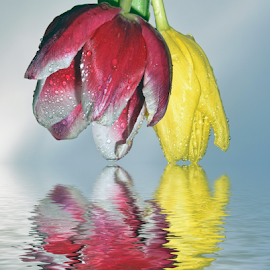 red and yellow tulips by LADOCKi Elvira - Digital Art Things (  )