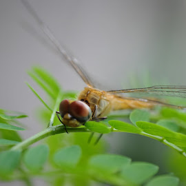 A Golden Dragonfly by Pratik Panzade - Animals Insects & Spiders ( nature, micro, wildlife, nikon, dragonfly, photography )