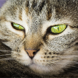 The look by Herman Olivier - Animals - Cats Portraits ( cats, cat, portrait, eyes, animal )