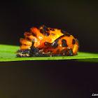 Lady Bug Pupa
