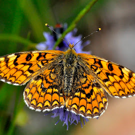 Knapweed Fritillary by Ricardo Costa - Animals Insects & Spiders ( butterflies, parque natural peneda geres, lepidoptera, insects, portugal )