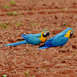 Wild Araras eating peanuts remainder of the harvest by Marcello Toldi - Animals Birds