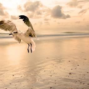 Warm light.  by Meaghan Browning - Landscapes Beaches ( bird, water, warm, seagull, landing, wings, seagulls, take off, ocean, flap, beach, coast )