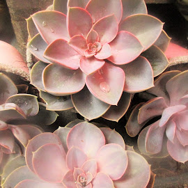 Echeveria Succulent vetplant by Redski Pictures - Nature Up Close Other plants ( nature, plants, pink, vetplant, echeveria succulent )
