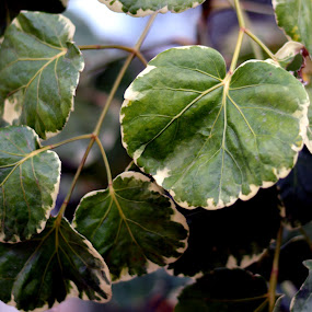 Green Leeves  - Full Frame. by Vinod Rajan - Nature Up Close Leaves & Grasses ( green leaves, green, leaves, nature, nature up close, nature close up, frame,  )