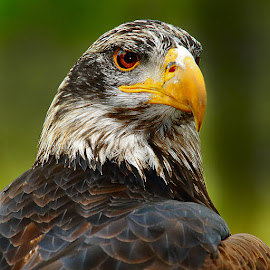 Aigle pygargue juvenile by Gérard CHATENET - Animals Birds