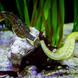 Sea horse making love by Vaibhav Jain - Animals Amphibians ( love, underwater, pair, creatures, sea, animal,  )