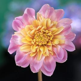 Yellow & Pink Dahlia by Jim Downey - Flowers Single Flower ( pink, blue, dahlia, yellow, black )