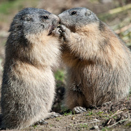 Fraternal friends by Massimo Mazzasogni - Animals Other Mammals ( mammals, marmots, nature, marmot, fur, paws, mammal )