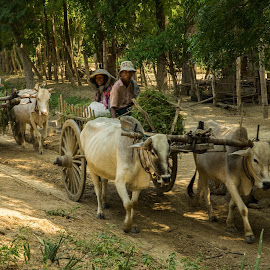 Oxcarts in Myanmar by Edzo Boven - Transportation Other ( smc pentax da 18-135 mm, myanmar, vakanties, 2014, pentax, pentax k-3 )