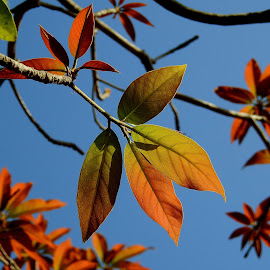 Reddish tender leaves, backlit. by Govindarajan Raghavan - Nature Up Close Leaves & Grasses (  )