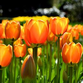 Orange tulips by Heather Aplin - Flowers Flower Gardens ( orange, keukenhof, gardens, tulips, sunlight, spring )