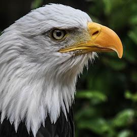 Wotan profile by Garry Chisholm - Animals Birds ( bird, garry chisholm, nature, bald eagle, wildlife, prey, raptor )
