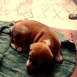 Puppie on mat by Deepti  Biswas - Animals - Dogs Puppies
