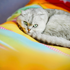 Timoshka by Alexandr Brudermann - Animals - Cats Portraits