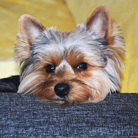 I am going to sleep by Ivelin Rusinov - Animals - Dogs Puppies ( yorkshire terrier, yorkie, puppy, sleeping, dog )