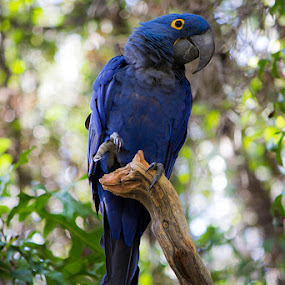 Blue parrot  by Mi Mundo - Animals Birds ( parrot, blue parrot )