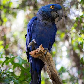 Blue parrot  by Mi Mundo - Animals Birds ( parrot, blue parrot )