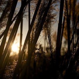 In the Setting Sun by Laura Burton - Nature Up Close Leaves & Grasses ( grasses, wheat, utah, sunset, shadows )