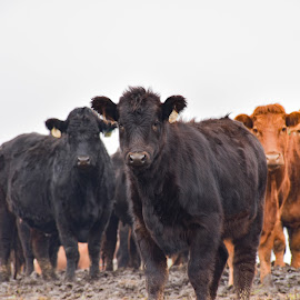 curious by Jodi Iverson - Novices Only Pets ( farm, animals, cows )