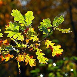 Autumn Oak by Chrissie Barrow - Nature Up Close Leaves & Grasses ( orange, nature, autumn, green, oak, brown, leaves, bokeh, closeup )