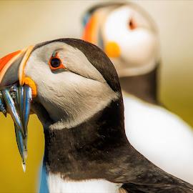 The Catch by Sam's 1 Shot - Animals Birds ( northern, england, summer, farne, fishing, birds, puffin, island )