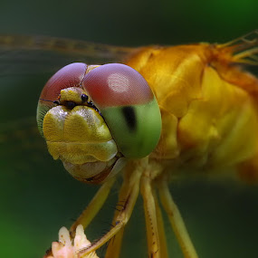 Your Eyes by Diens Silver - Animals Insects & Spiders ( macro, dragonfly, eyes )