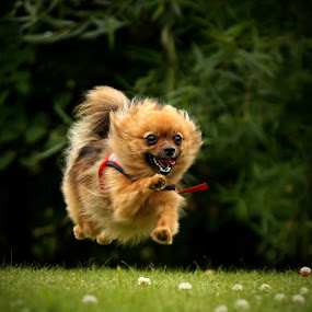 I believe I can flyyyy! :) by Jane Bjerkli - Animals - Dogs Running (  )