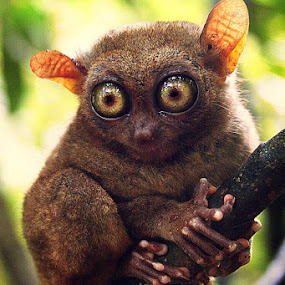 Philippine Tarsier  by Roland Caranzo - Animals Other Mammals ( animal photographers, nature photographers, cebu photographers, caranzo digital )