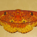 Ormondei Imperial Moth
