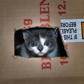 Kitten in a box by Hrodulf Steinkampf - Animals - Cats Kittens ( cats, cat, kitten, moo, box )