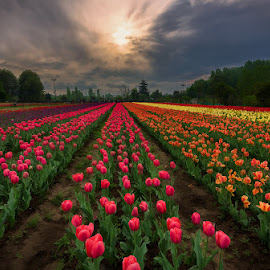 Evening Tulips by Manabendra Dey - Landscapes Prairies, Meadows & Fields ( evening tulips, tulip, tulip garden )