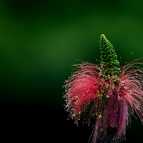 Nature Firework by Amril Nuryan - Nature Up Close Flowers - 2011-2013 ( firework, green, forest, bokeh, close up, flower )