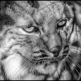 Bobcat by Dave Lipchen - Black & White Animals ( bobcat )