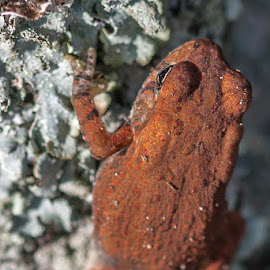 Small Toad by Mike Watts - Animals Amphibians ( tree, toad, small )