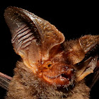 Big-Eared Bat