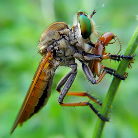 robber fly by Hendrata Yoga Surya - Instagram & Mobile Android ( insects, robber, robber fly, robberfly )
