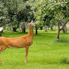 Hungry Deer by Ivan Cohene - Animals Other ( #deer, #animals, #deer eating )