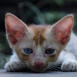 Innocent by Partha Pratim Sarkar - Animals - Cats Portraits ( #cat, #innocentface, #staring, #eye,  )