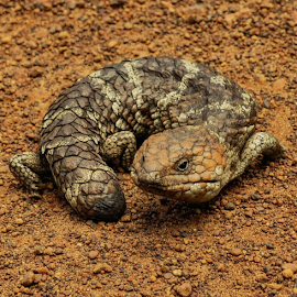 Lizzard by Shane Cassidy - Animals Reptiles ( nature, lizzard, australia, bush, out back, reptile, animal )