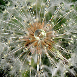 Dandelion Drops by Susan Farris - Nature Up Close Gardens & Produce ( water, wild flower, dandelion, drops, spring, garden, rain, pwcflowergarden-dq, contest, photography, theme, tradition, culture, mind, challenge, backyardmarvels, amazingworlds, circle, pwc79, shapes geometric patterns  )