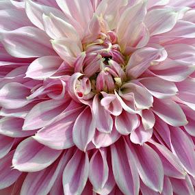 by Debanjan Goswami - Flowers Single Flower (  )