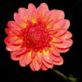Dalhia bicolor by Gérard CHATENET - Flowers Single Flower (  )