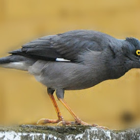 by Sambit Bandyopadhyay - Animals Birds (  )