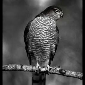 Sparvhök by Michael Pelz - Animals Birds