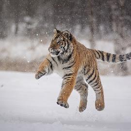 Volley ball by Jiri Cetkovsky - Animals Lions, Tigers & Big Cats ( tiger, volleyball, snow, ussurian, jump )