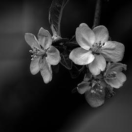 by Estislav Ploshtakov - Flowers Tree Blossoms