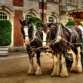 Horses by Joshua Malcolm  - Animals Horses ( london, horse, hampton court, gardens, horse drawn carriage )